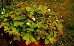 Чем дикая клубника отличается от садовой земляники