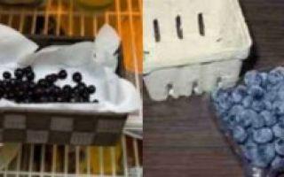 В чём разница между черникой и голубикой