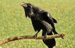 Грач и ворона: сходство и чем они отличаются?