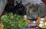 Чем лучше кормить кроликов зерном или комбикормом?