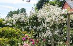 Чем плетистая роза отличается от вьющейся?