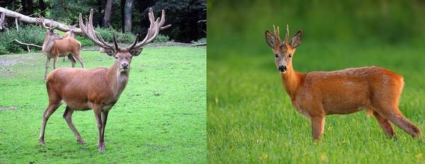 Чем отличается лось от оленя: особенности и отличия