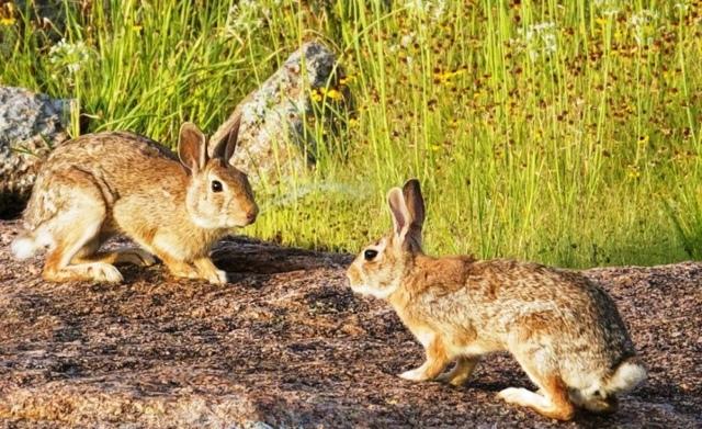 Кролики и зайцы: общее и чем они отличаются