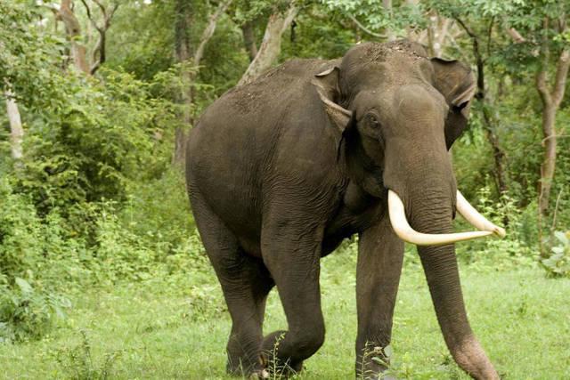 Чем отличается индийский (азиатский) слон от африканского