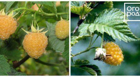 Желтая и красная малина: сорта и основные отличия
